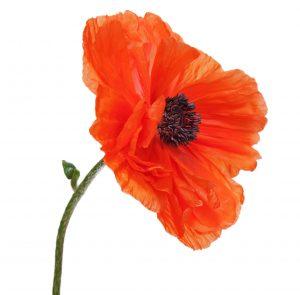 The poppy: beautiful, but dangerous.