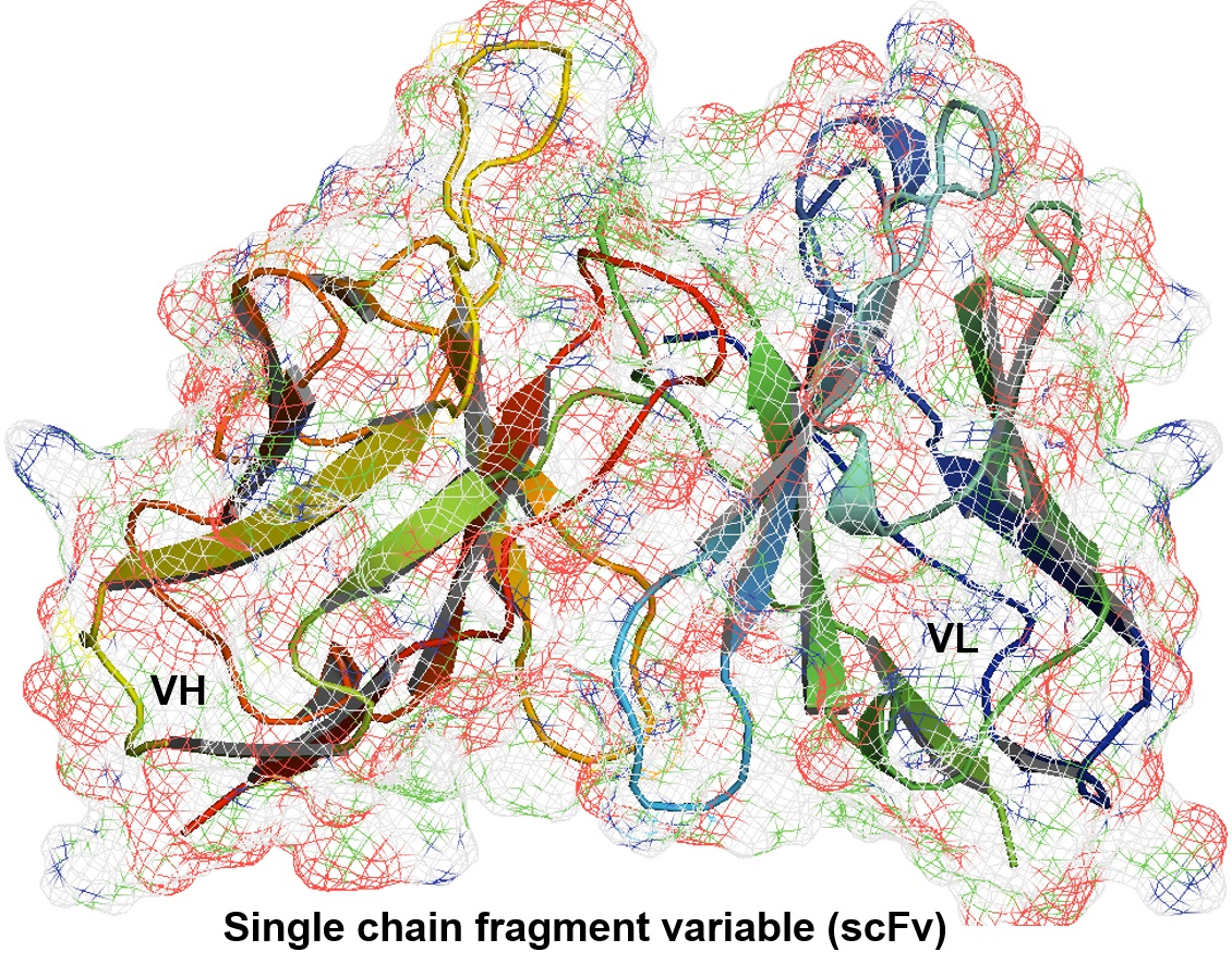 3-D image of a single chain fragment variable antibody