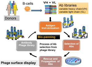 Overview of antibody library production and selections using phage display. The phage antibody library repertoire is derived from the B cells of naïve or immune donors. Bio-panning represents selection of phage coated antibody binders.