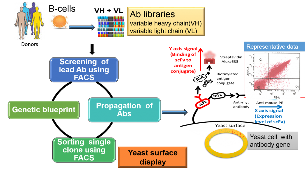 Overview of antibody library production and selections using yeast display. The phage antibody library repertoire is derived from the B cells of naïve or immune donors. For yeast antibody display, the scFv is displayed as a fusion product with the Saccharomyces Aga2p protein. For yeast display analysis, the expression of scFv was measured by a anti-myc antibody phycoerythrine-labeled anti-mouse antibody (X axis signal). The binding of the scFv to the biotinylated phenanthrene-protein conjugate was measured by streptavidin-Alexa633 fluorescence (Y axis signal).