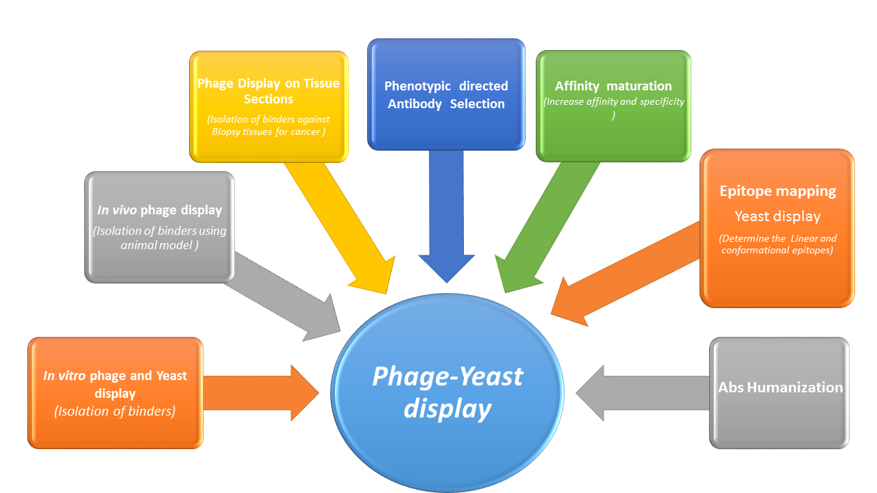 Schematic representation of phage and yeast display technologies applications for antibody discovery and engineering.