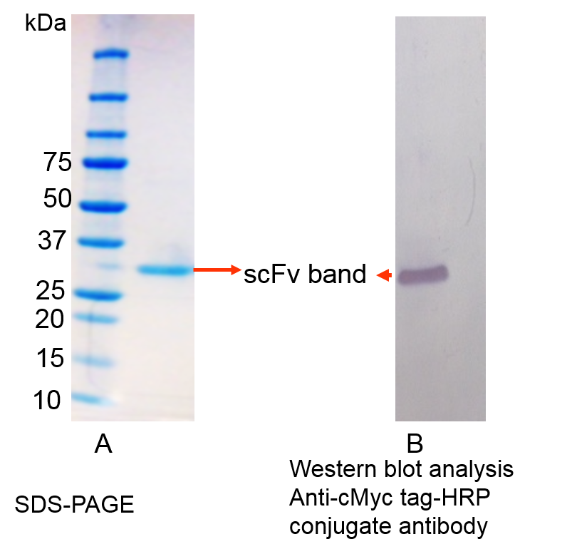 protein purification of scFv antibody