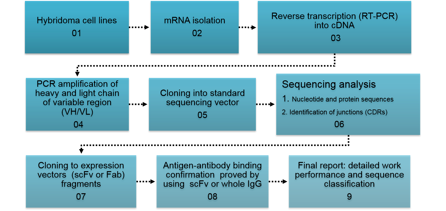 Flow chart of methodology used for sequencing of hybridoma or clonal B cells and construction and production recombinant antibody.