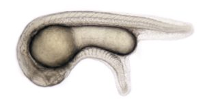 Vertebrate Embryo