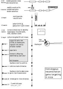 Homologous Recombination Gene Targeting in Mice