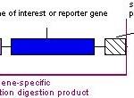 transgeneso