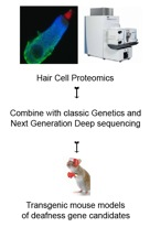 HairCellProteomics
