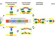 Pathways of conformational intermediates in HIV gp41-mediated membrane fusion