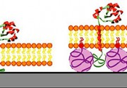 Design of a tethered polymer-supported lipid bilayer.