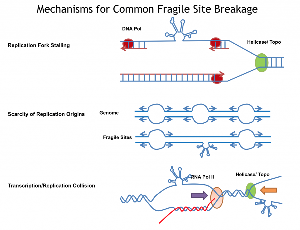 Diagram showing mechanisms for common fragile site breakage. Includes figures for replication fork stalling, scarcity of replication origins, and transcription/replication collision.