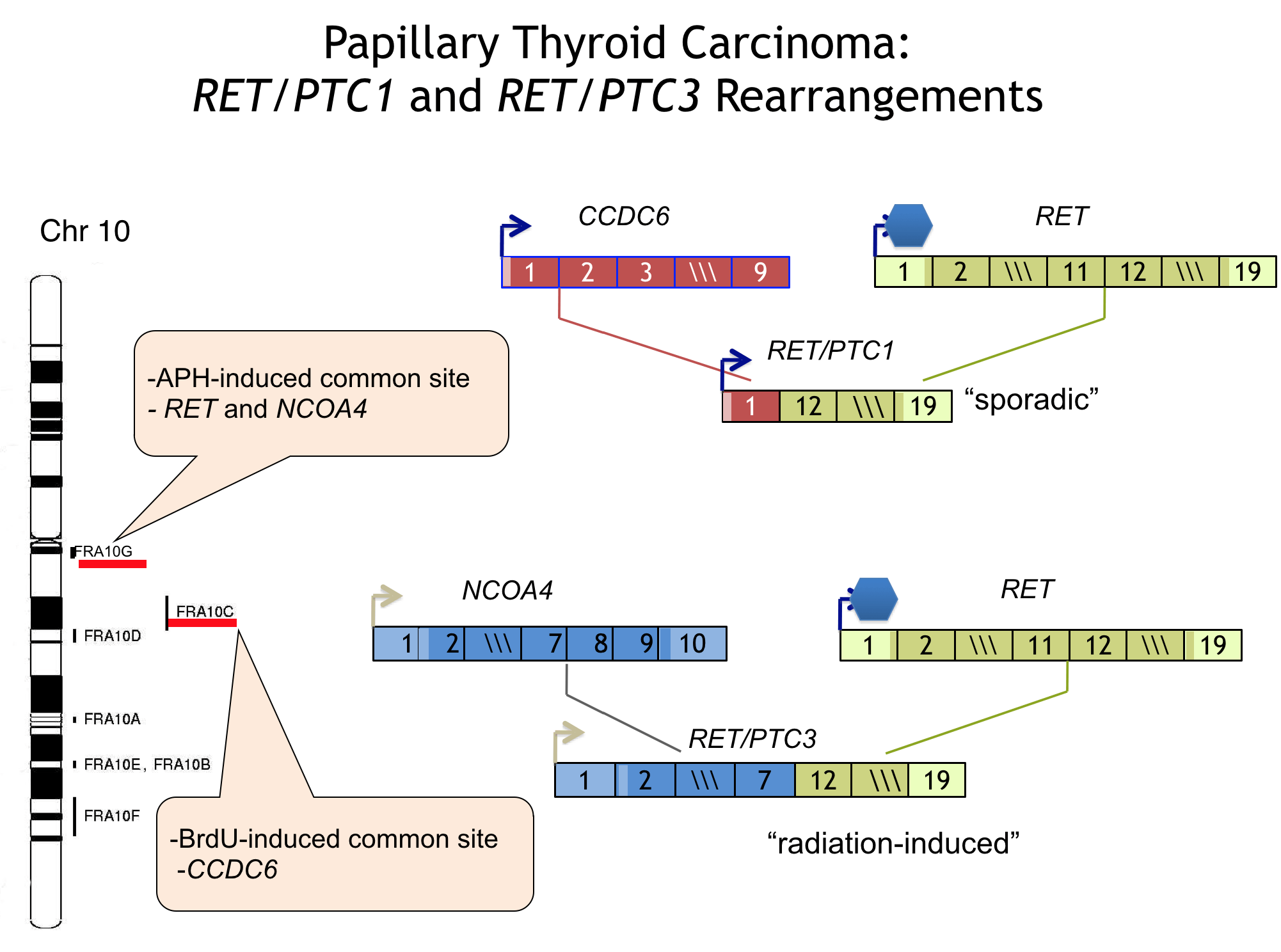 Diagram of papillary thyroid carcinoma rearrangements RET/PTC1 and RET/PTC3.